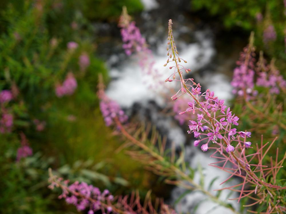Switzerland - Bettmeralp river and wildflower