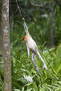 Proboscis Monkey<br /> Nasalis larvatus<br /> Juvenile hanging from tree<br /> Sabah, Malaysia