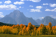 Mount Moran looms behind yellow aspen trees in Grand teton National Park, Wyoming.