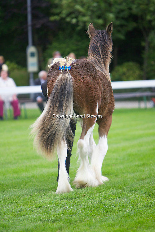 Clydesdales at the Great Yorkshire Show 2015 Great Yorkshire Show 2015 Clydesdale Breed Classes