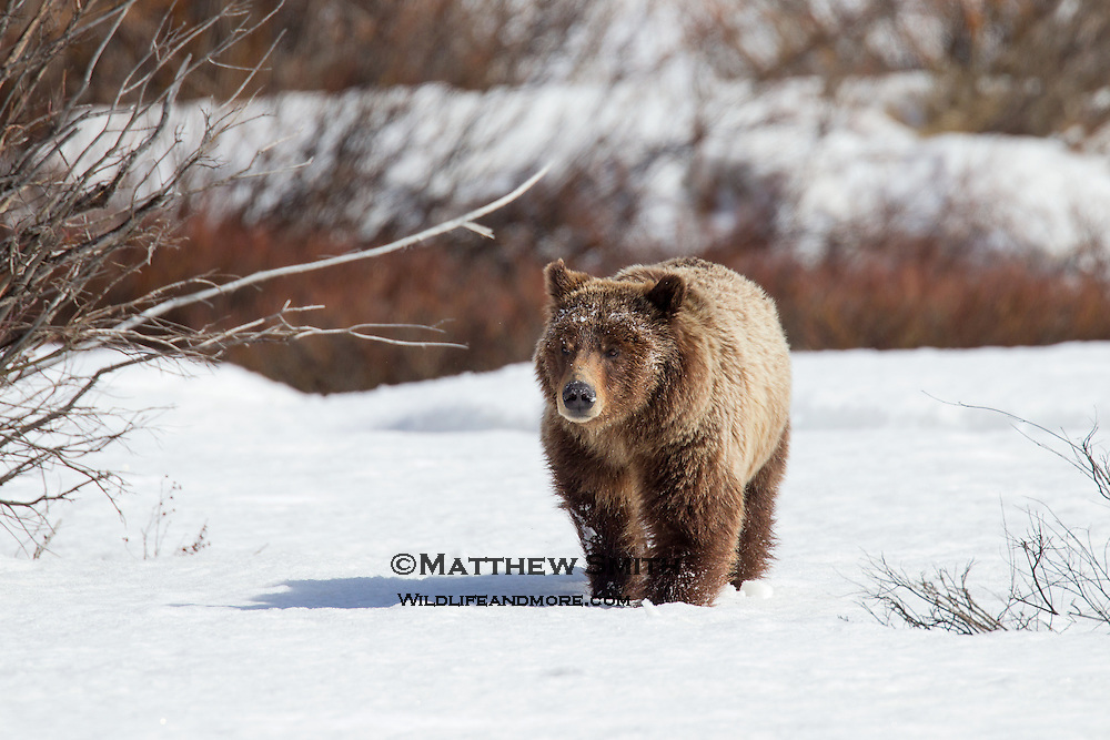 Grizzly Bear #399 and her two cubs in Grand Teton National Park just out of hibernation