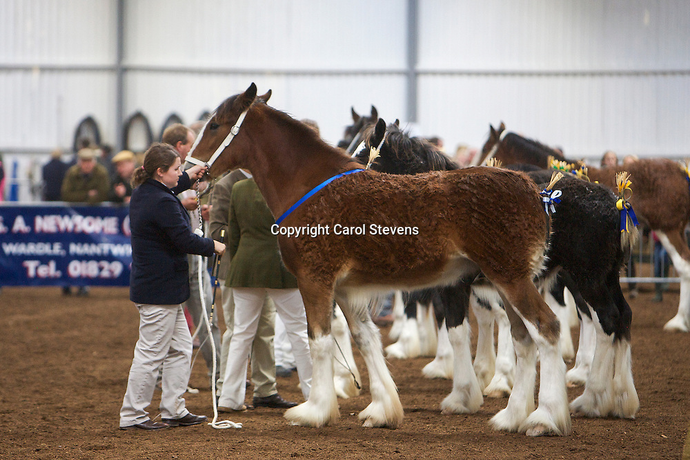 North West and Wales Shire Foal Society <br /> Show 2012<br /> Miss C Young's Woodhouse Olympian<br /> f   03/01/12<br /> Sire   Dothan Buscot<br /> Dam   Acle Lady Jane