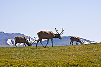 Rocky Mountain Elk (Cervus elaphus)  Bull elk grazing on the alpine tundra. Rocky Mountain National Park, Colorado.