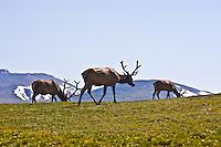 Rocky Mountain Elk (Cervus elaphus)  Bull elk grazing on the alpine tundra. Rocky Mountain National Park, Colorado.
