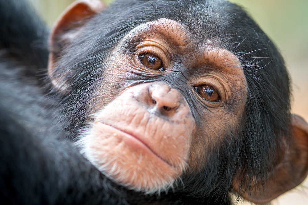 A close up look at the face of a baby chimpanzee.(Pan troglodytes) Ganta Liberia