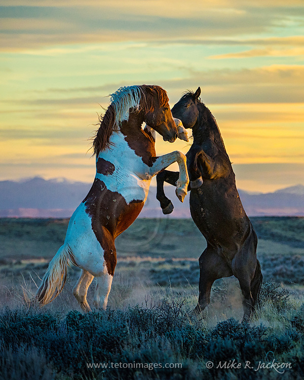Description/Caption:<br /> Stallions fighting on the open prairie at last light in North Central Wyoming. This image appears in the February issue of Cowboys &amp; Indians Magazine in the Equine Division of &quot;Photographing the West&quot;.