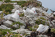 Red-billed Gull, nest, Kaikoura, New Zealand