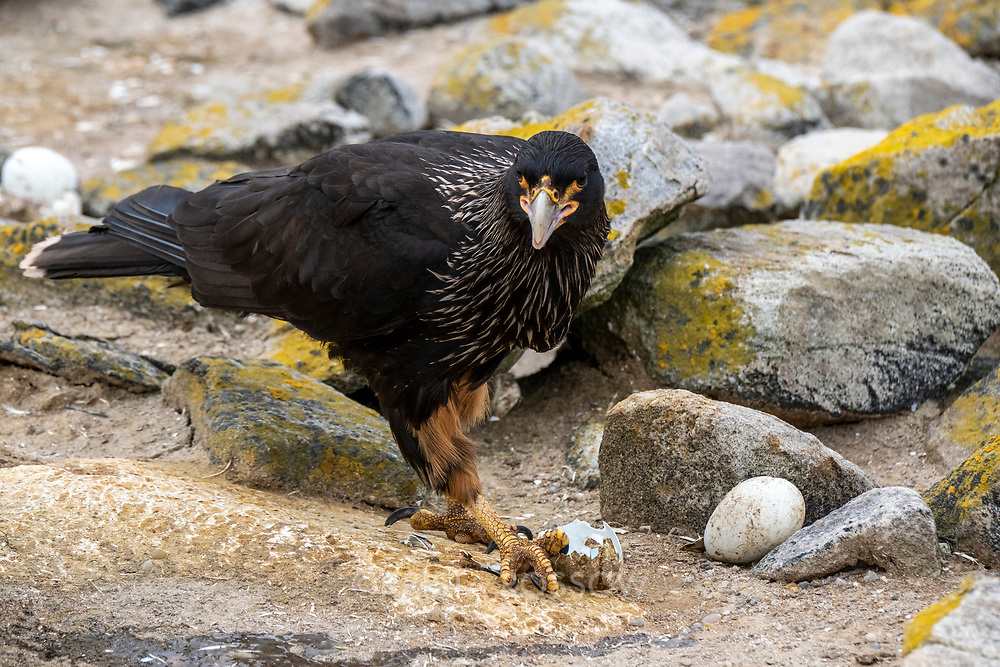 A striated caracara feeds on rockhopper penguin eggs in a colony on New Island, Falkland Islands.