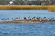 American oystercatchers rest on an oyster bed in the Cape Romain National Wildlife Refuge South Carolina.