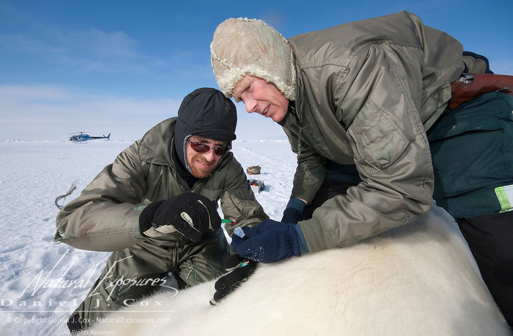 Steve Amstrup and Geoff York, USGS biologists, taking a biopsy from an immobilized large male polar bear.