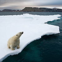 Norway, Svalbard, Polar Bear (Ursus maritimus) sitting on melting iceberg near Half Moon Island on summer evening