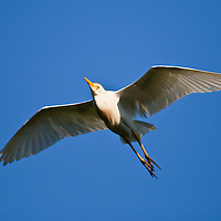 Cattle egret (Bubulcus ibis) in flight as it is leaving its nest at the natural rookery at the St. Augustine Alligator Farm, Anastasia Island, St. Augustine, Florida.