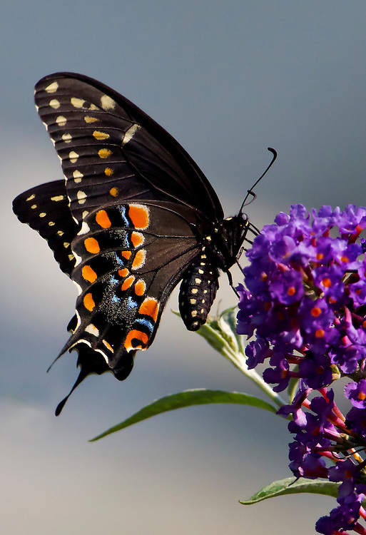 A black swallow tailed butterfly near the Lily Pond.