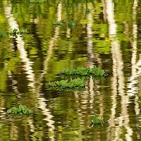 Water lettuce plants float in the reflections of trees on Nauta Creek off of the Maranon River in the Peruvian Amazon.