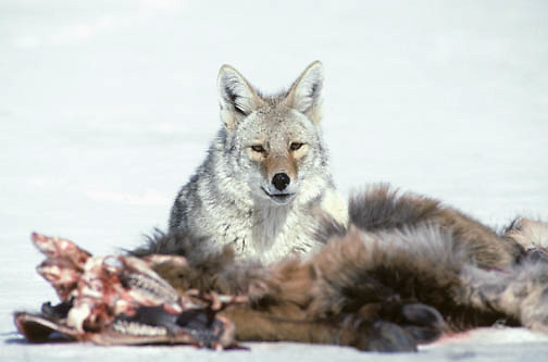 Coyote (Canis latrans) feeding on the carcass of a winter-killed elk.