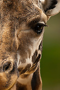A captive Baringo Giraffe, Giraffa camelopardalis rothschildi, at the Santa Barbara Zoo, Santa Barbara Calif., USA, Wednesday, September 8, 2010.  Three giraffes share the modest space at the zoo are are native to central Africa.  (Photo by Aaron Schmidt/Brooks Institute © 2010)