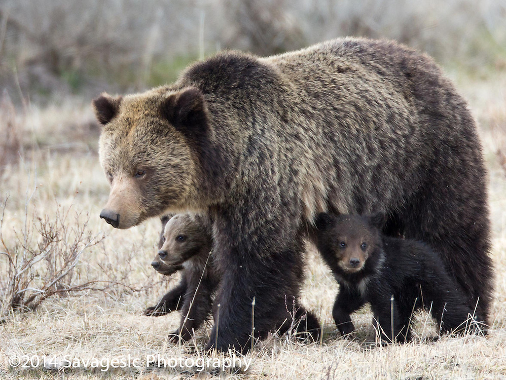 Grizzly bear Quadmom with her three cubs of the year. May 2014