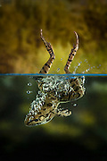 A rio grande leopard frog (Rana berlandieri) splashes into water, Texas. Temporarily captive.