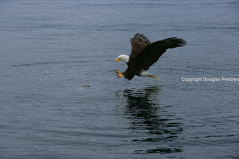 Bald Eagle catching fish<br />