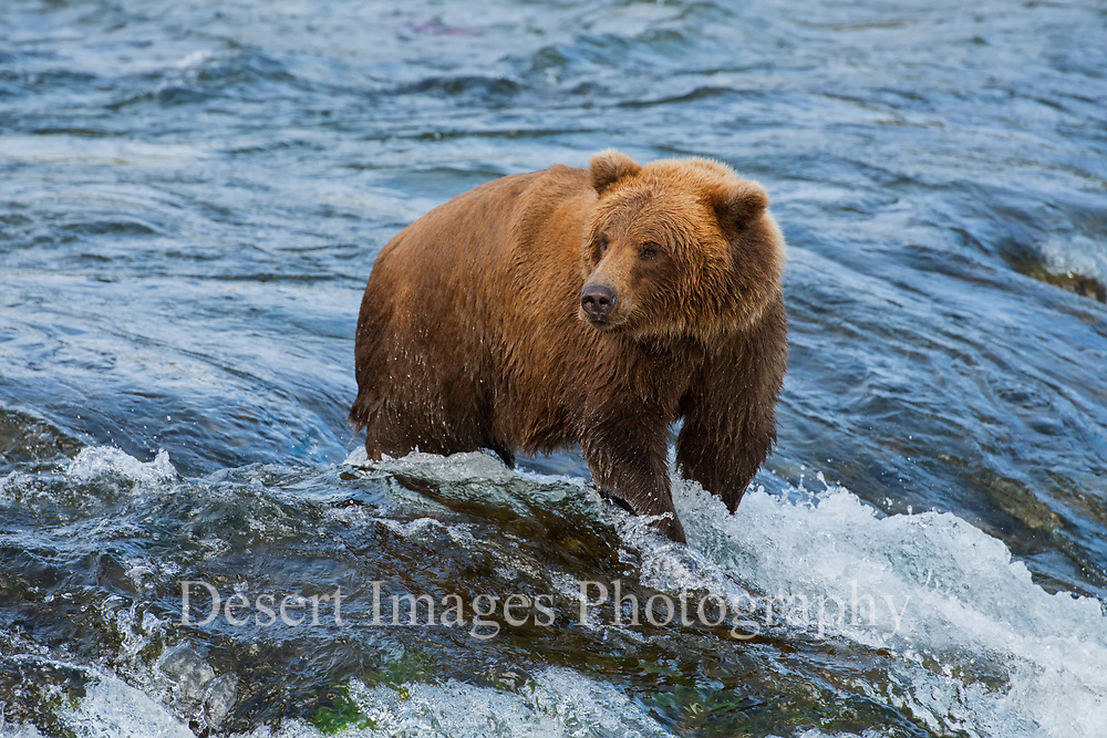 Coastal Brown Bear<br /> Katmai National Park, Alaska