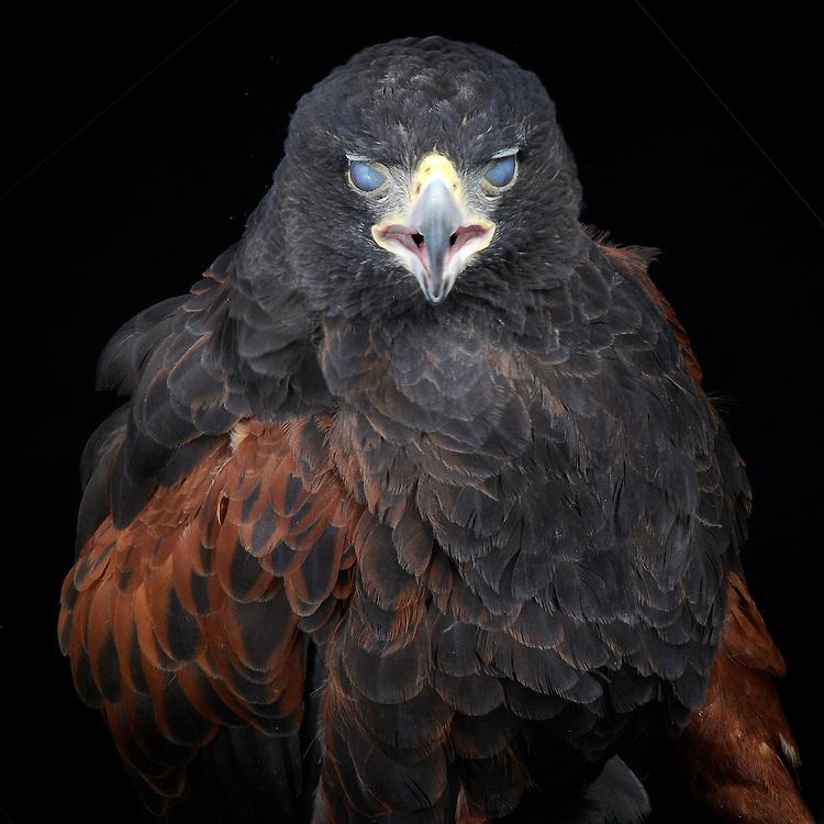 Harris Hawk (Parabuteo unicinctus), captive