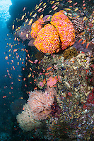 Pastel Colored Anthias, Cup Corals, and Sea Fans<br /> <br /> Shot in Indonesia