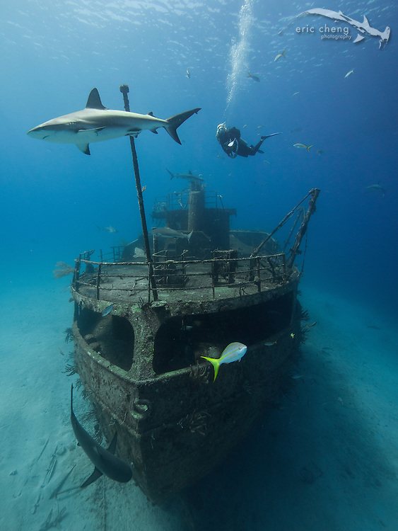Caribbean reef sharks (Carcharhinus perezi) and a diver at the Ray Of Hope shipwreck near Nassau, Bahamas