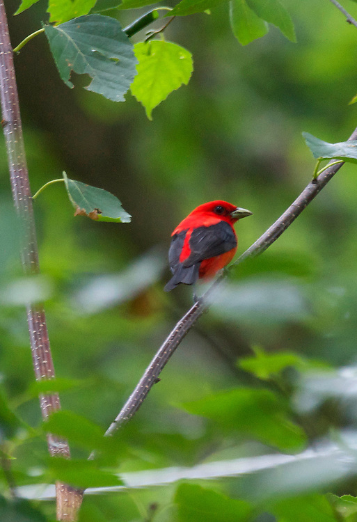 A male scarlet tanager perched on a tree branch looking off into the distance.