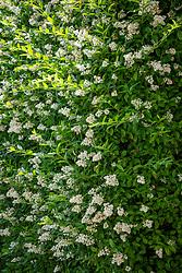 Privet hedge in flower - Ligustrum ovalifolium