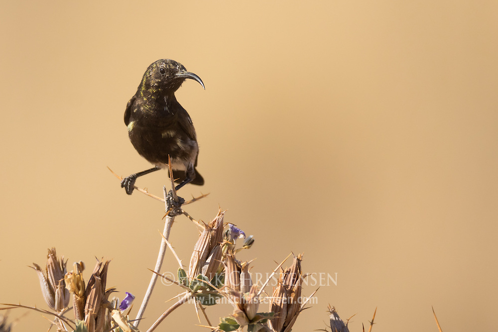 A tiny dusky sunbird perches on a desert thistle, Twyfelfontein, Namibia.
