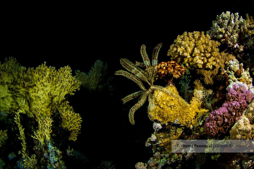 Comatulida - Comatule (Comatulida), Red sea, Egypt.