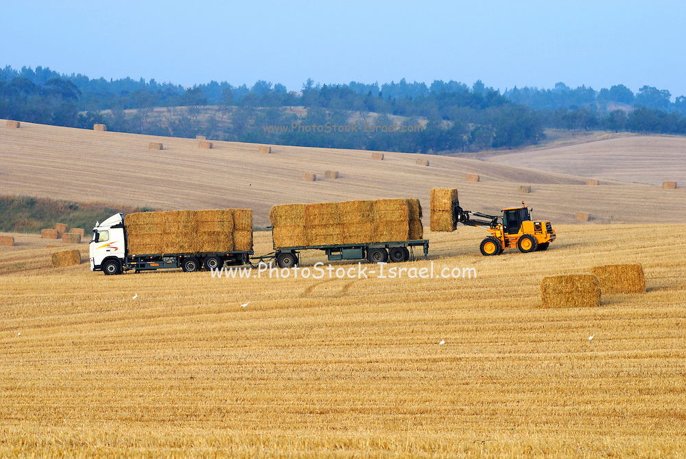 Israel, Negev, Wheat field, Harvest time in a wheat field loading bales of straw May 2007