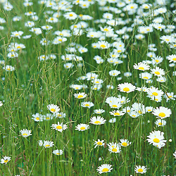 Hampton, NH..Ox-eye daisies, chrysanthemum leucanthemum, on the edge of a hay field at the Hurd Farm.