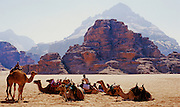 Beduin tribe members rest camels before heading out across the Wadi Rum Desert - Jordan