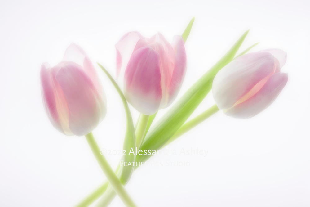 Soft-glow double exposure montage, a trio of vibrant pink and white tulips on luminescent background.