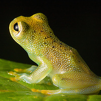 Granular Glass Frog, Cochranella granulosa, in the Osa Peninsula.