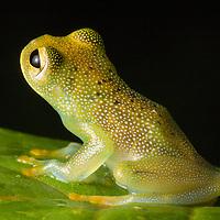 Granular Glass Frog, Cochranella granulosa, in the Osa Peninsula.