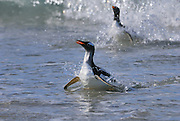 Two Gentoo penguin makes a big splash coming into shore.