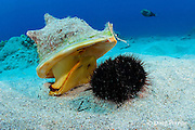 horned helmet shell or pu puhi, Cassis cornuta, rears up to pounce on a collector urchin or hawa e maoli, Tripneustes gratilla, Honokohau, Kona, the Big Island, Hawaii, USA ( Central Pacific Ocean ) 3 in sequence of 4