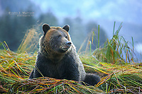 Grizzly bear, Mussel Inlet, Great Bear Rainforest, British Columbia