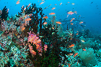 Anthias in the foreground, Snappers in the back.<br /> <br /> Shot in Indonesia
