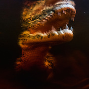 The fate of the Cuban crocodile is unknown, but sure to go extinct if not for major efforts on our part.
