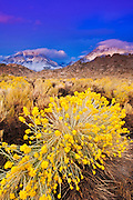 Dawn light on rabbitbrush and the Sierra crest from Buttermilk Country, Inyo National Forest, California USA