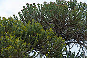 Candelabra trees (Euphorbia sp.) with yellow flowers and red fruits growing in the sloops of Ngorongoro Crater, Tanzania.