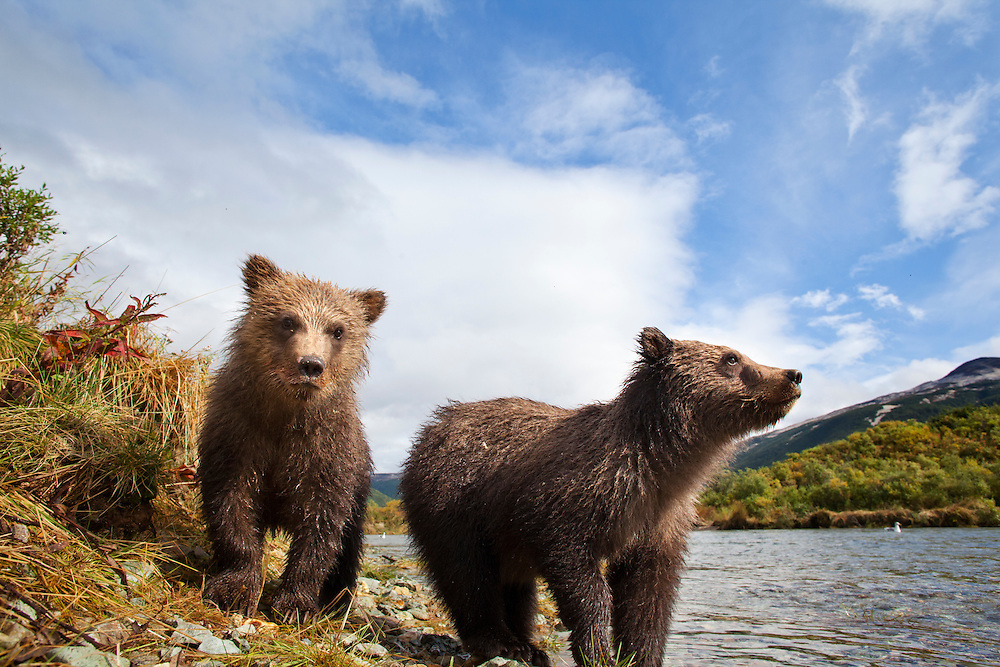USA, Alaska, Katmai National Park, Remote camera view of two Coastal Brown Bear Cubs (Ursus arctos) along spawning stream by Kinak Bay