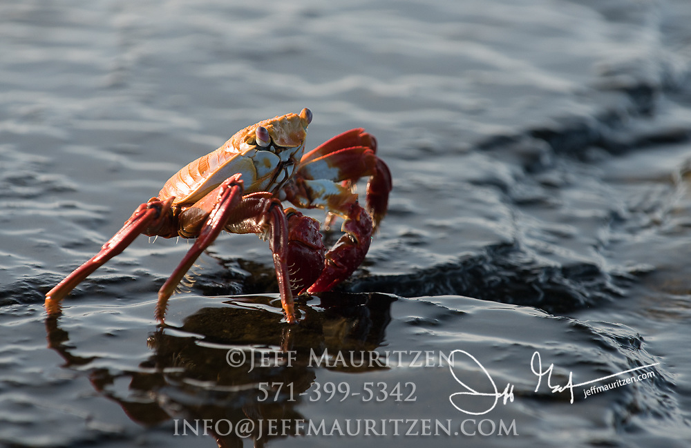 A Sally lightfoot crab walks across volcanic rock on Santiago island, Galapagos islands, Ecuador.