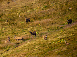 Group of wild goat chamois resting on meadow field at Hohneck, France