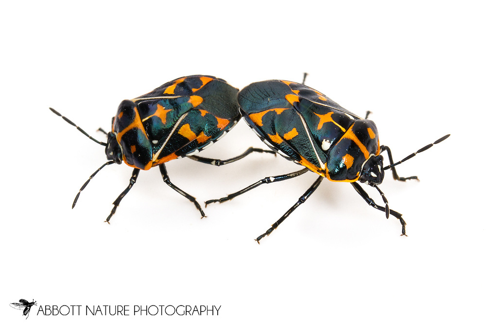 Harlequin Bug (Murgantia histrionica) - mating<br /> CALIFORNIA: Kern Co.<br /> Stine Cove on Lake Isabella; near Porterville<br /> 10.June.2012<br /> J.C. Abbott #2600 &amp; K.K. Abbott