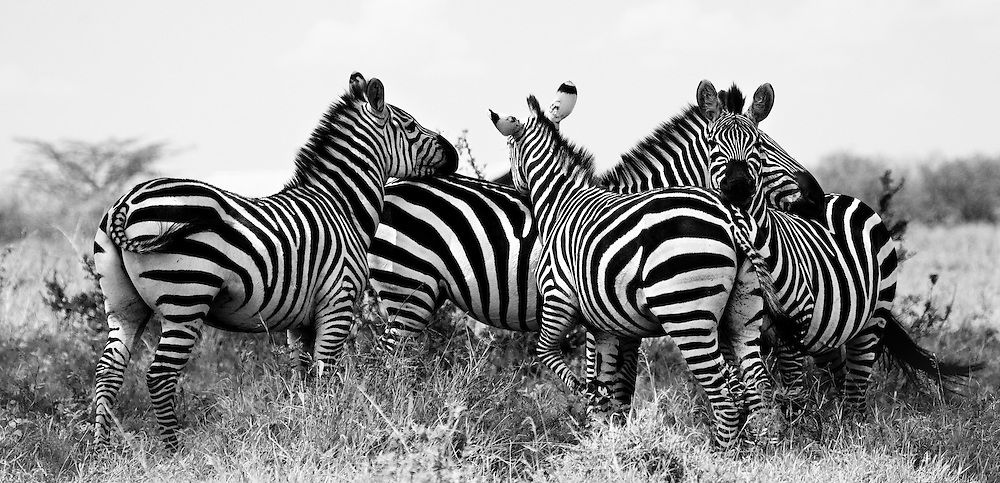 Zebra's rest against one another in the Maasai Mara, Kenya