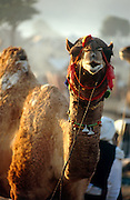 Camel at the Pushkar Fair, Rajasthan, India